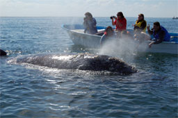 Visitors pet a baby California Gray Whale in Magdalena Bay
