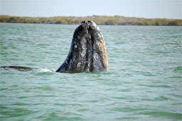 A California Gray Whale raises his head to take a look in Baja's Magdalena Bay