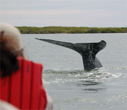 A California Gray Whale dives tail up into Baja's Magdalena Bay