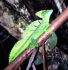 Costa Rica's 'Jesus Christ' lizards can walk on water.