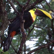 Toucan in Costa Rica rain forest.