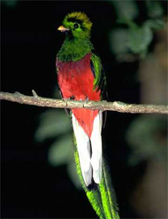 The quetzal was a sacred symbol to the Aztecs and the Mayas