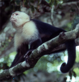 Costa Rica is the perfect place for monkey watching.