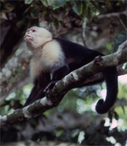 Monkey in Costa Rica rain forest