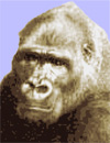 Photo of Bogart Gorilla